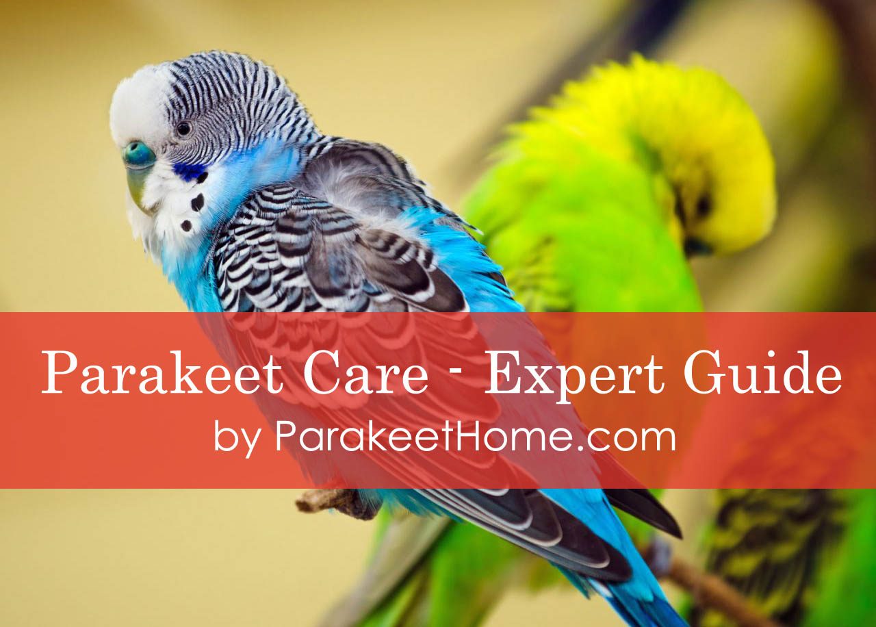 parakeet-care-expert-guide