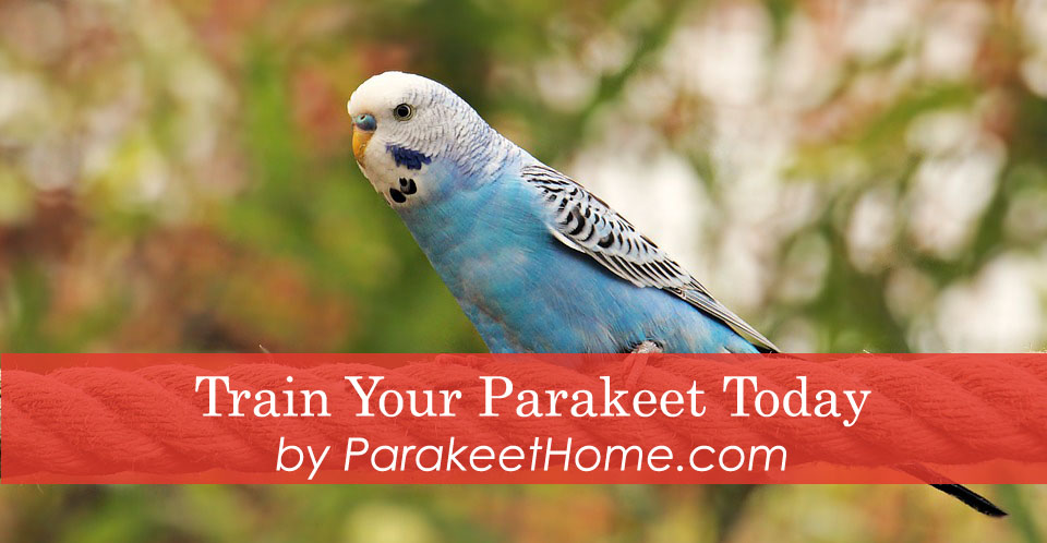 how to train your parakeet