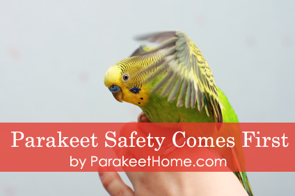 parakeet care safety comes first