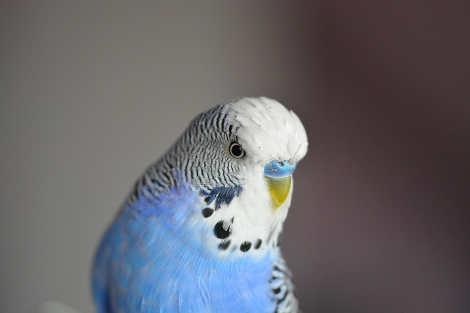 parakeet sounds and singing