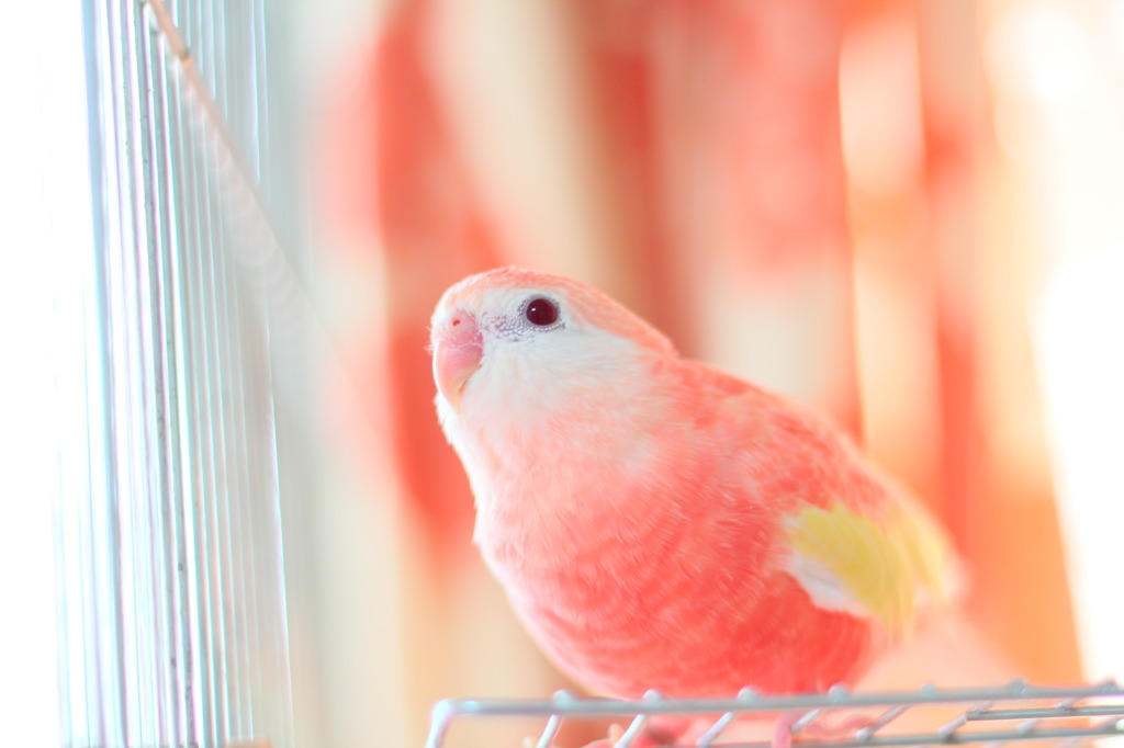 pink parakeet colors
