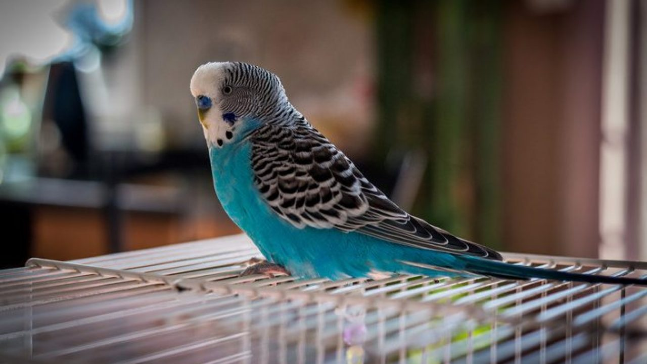 Parakeets 101 Must Read To Keep Parakeets As Pet In 2020