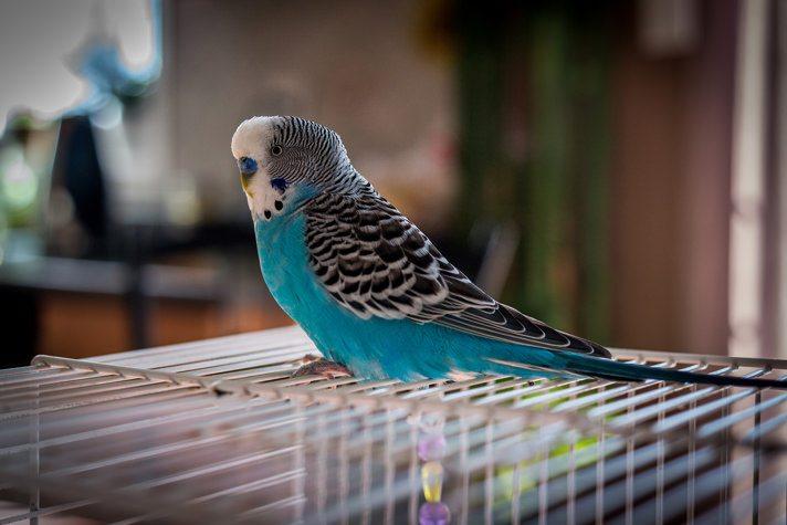 parakeets as pet