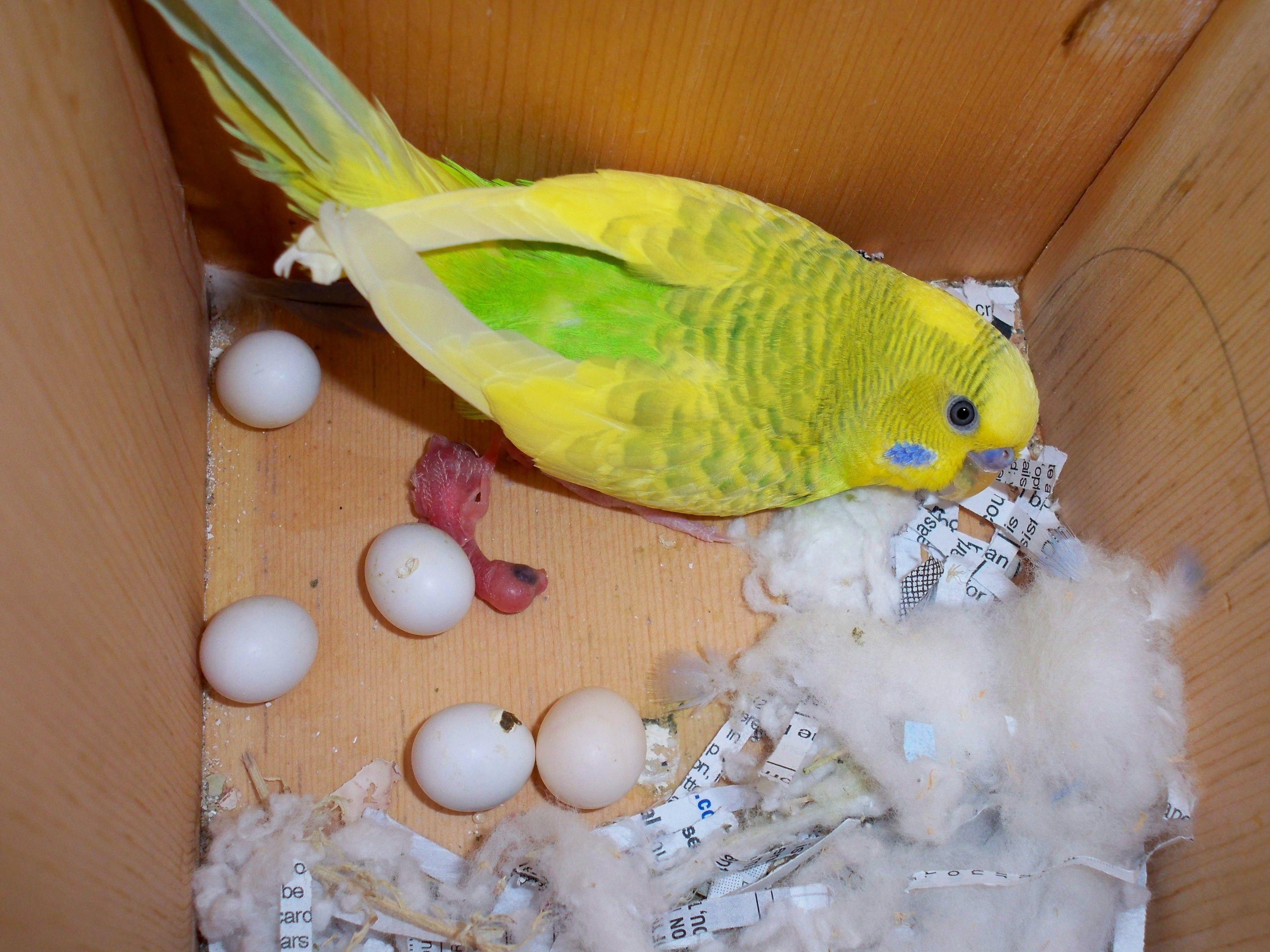 How To Raise A New Born Baby Parakeet Perfectly
