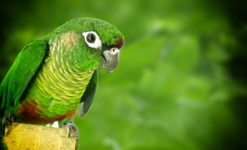 Green Cheek conure price