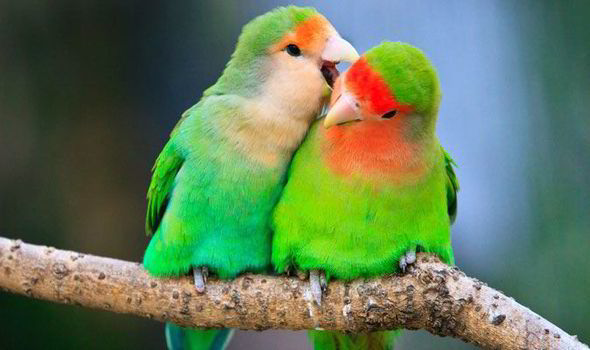peach-faced lovebird facts