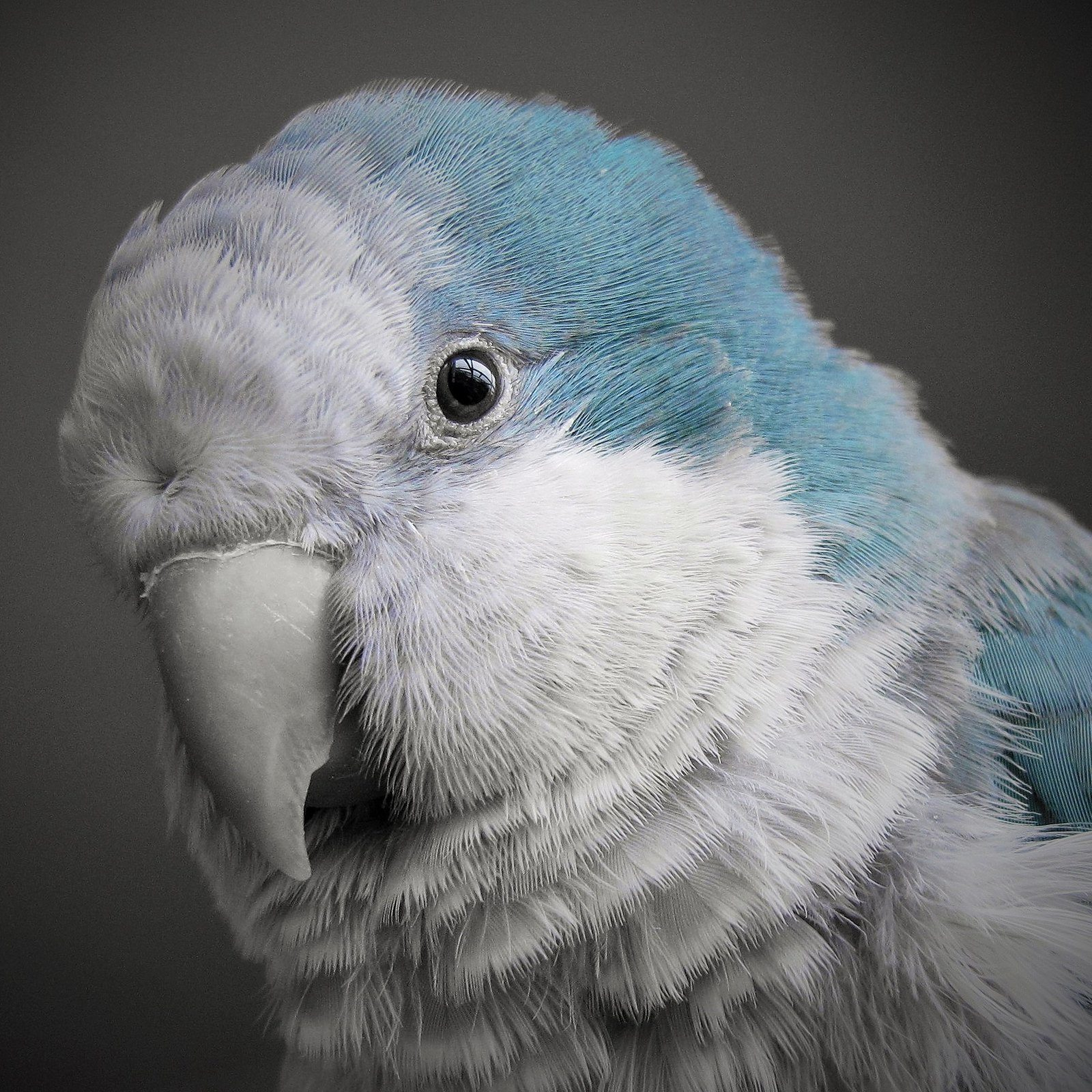 Blue Quaker Parrot